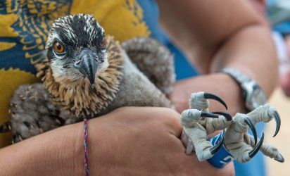 Closeup on an osprey chick being held and banded.